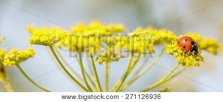 Seven-spot Ladybug (ladybird, Coccinellidae) Feeding On Anise Flower. Santa Clara County, California