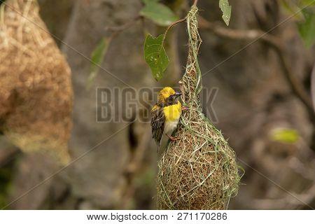 Baya Weaver With Nest, Ploceus Philippinus, Pune. Maharashtra, India.