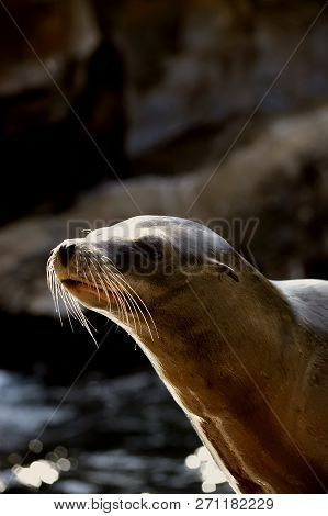 Sea Lion Close Up Latin Name Zalophus Californianus