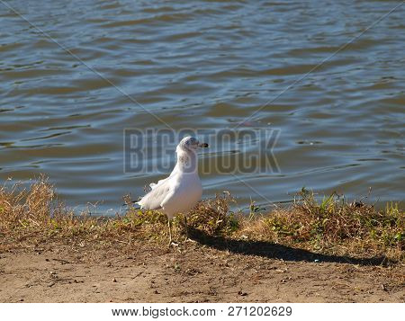 A Black-ring Billed Sea Gull Arrives To Claim Its Place At A Nearby Picnic Table As Soon As The Peop