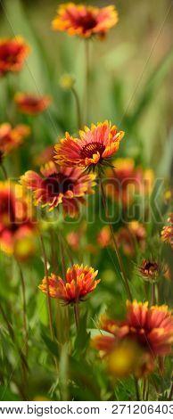 Idyllic Summer Nature. Wild Flowers On Summer Field. Flowers In Blossom. Blossoming Flowers On Natur
