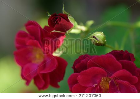 Flowers That Beautify Gardens And Rule Hearts. Red Rose Flowers. Flowering Rose Buds. Garden Roses I