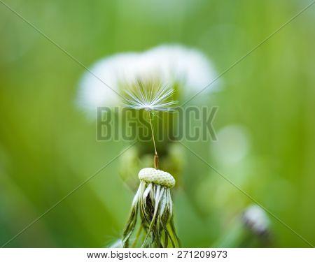 Natural Beauty. Wild Dandelion On Summer Day. Taraxacum Flower On Nature Landscape. Dandelion Flower