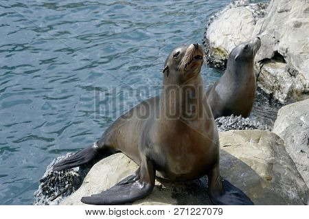 Two Sea Lions Latin Name Zalophus Californianus
