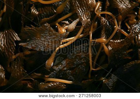 Seaweed. Kelp on the beach. Seaweed and Kelp on the sand on the pacific ocean of Southern California.  Seaweed and Kelp can be considered edible and used in many food dishes.
