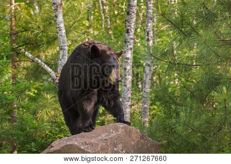 Adult Female Black Bear (ursus Americanus) Stands On Rock Looking Right - Captive Animal