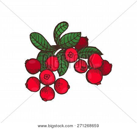 Cranberry Food Delicious Berries With Leaves Isolated Icon Vector. Dinner And Fresh Meal, Harvesting