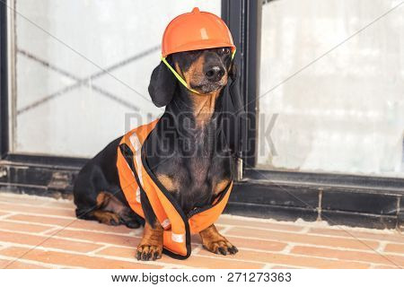 Dachshund Dog, Black And Tan, Sits On The Background Of A Dirty Window And A Brick Wall, In An Orang