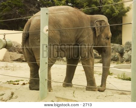 African Elephant Rear