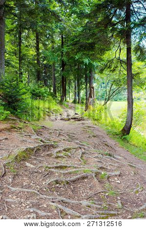 Roots Of Trees On The Forest Trail. Lovely Scenery In Summer