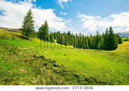 Wonderful Springtime Weather In Mountains. Spruce Forest On A Grassy Meadow. Wonderful And Bright We