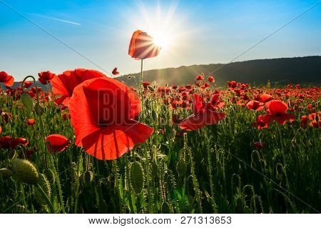 Sea Of Poppy Flower In Mountains At Sunset. Beautiful Springtime Nature Scenery