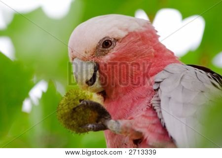 Parrot Eating Seeds