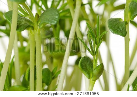 Sweet Lupin Bean Seedlings, Macro, Front View. Young Plants, Sprouted From Lupin Bean Kernels, Conta