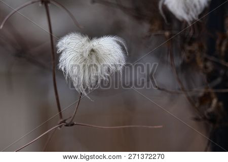 Dainty puffy white Clematis seed head cluster poster