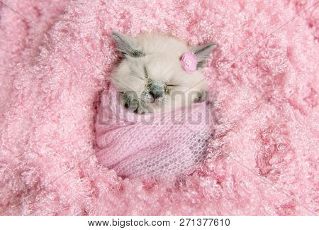 newborn british fluffy kitten sleeps on pink fur