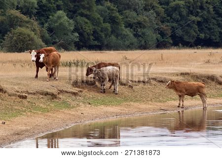 Small Herd Of Cows On Edge Of River In Meadow