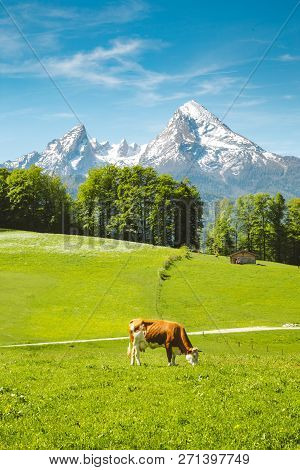 Idyllic Summer Landscape In The Alps With Cow Grazing On Fresh Green Mountain Pastures And Snow Capp