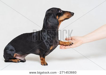 Adorable Dachshund Dog, Black And Tan, Gives Paw His Owner Closeup With Human Hand, Isolated On Gray