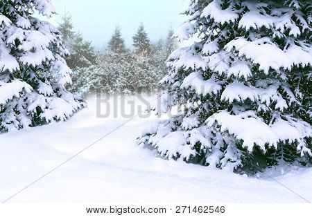 Beautiful Winter Forest. Spruces Covered By White Snow In Wood. Spruces Branches Covered With Snow.