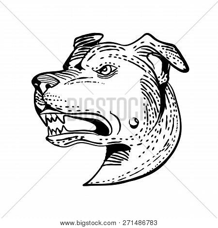 Etching Style Illustration Of Head Of An Angry American Staffordshire Terrier, Amstaff,staffy Or Sta