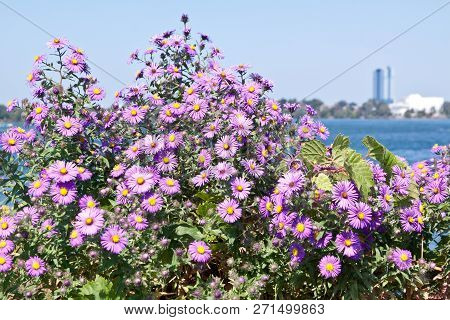 Horizontal Close Up Of A Spray Of Vivid Mauve Flowers With Soft Focus Background On A Sunny Day