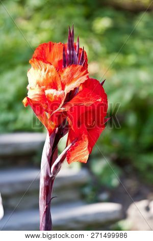 Vertical Close Up Of A Long Vivid Red Flower On Purple Stem With Soft Focus Background On A Sunny Da