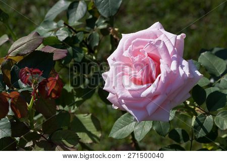 Horizontal Close Up Of A Fully Bloomed Pink Rose With Soft Focus Background On A Sunny Day