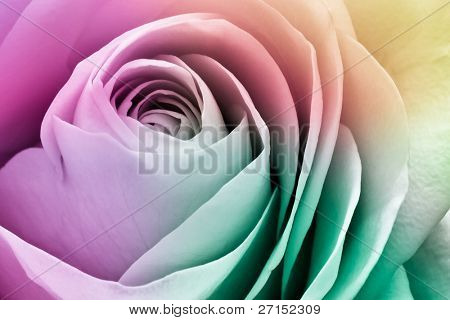 close up of colorful rose petals