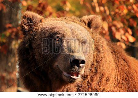 Bear's Portrait In The Woods