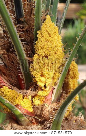 Close Up Of Emerging Yellow Flowers Of A Cycad Recurvata, Also Known As The Japanese Sago Palm.