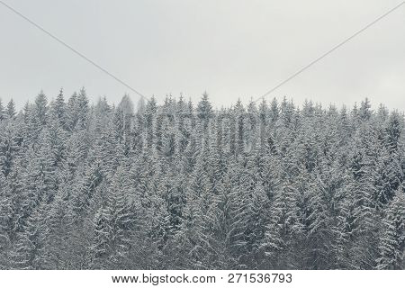 Snow-covered Tops Of Firs. Thick Coniferous Forest. Winter Landscape