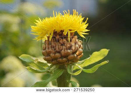Safflower Yellow Background Blurred. Yellow Thistle.