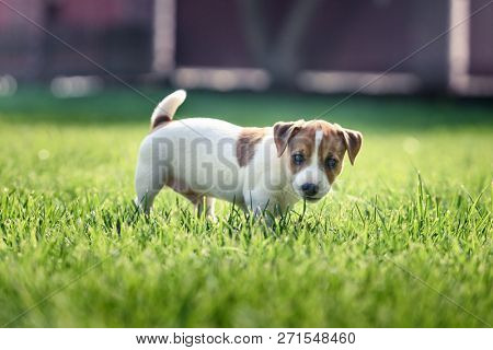 Jack russel terrier puppy on green lawn. Happy dog with serious gaze poster