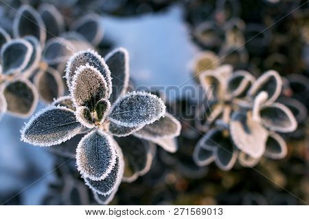 Dark Green Round Leaves In Frost. Early Winter Morning. Branch Covered With Frost. Winter. Frosty Pl