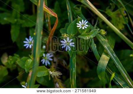 Blooming Flowers. Blue Flowers On Green Grass.  Meadow With Rural Flowers. Wild Flowers. Nature Blue