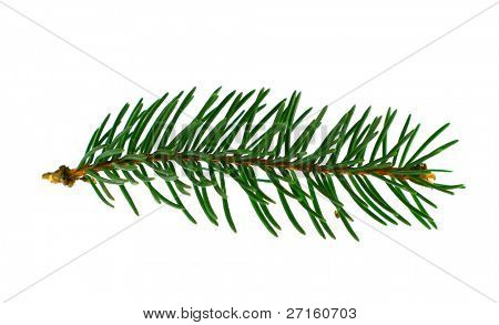 fir-trees branch isolated on white background