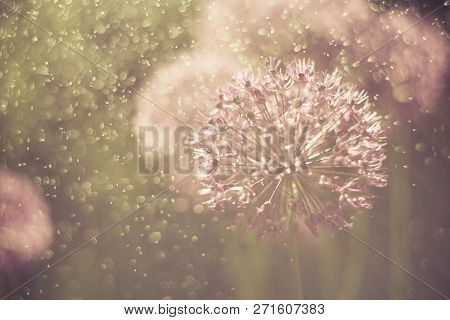 Alium Flower With Dandelion Flower Structure Wit Water Drops. Ma