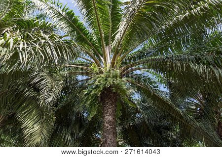 African Oil Palm Plantation In Thailand Asia