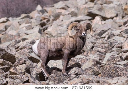 Bighorn Sheep Are Wild Animals In The Rocky Mountains Of Colorado. Bighorn Ram In Sunlight