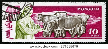 Mongolia - Circa 1961: A Stamp Printed In Mongolia Shows Herdsman And Oxen, Agriculture, Circa 1961