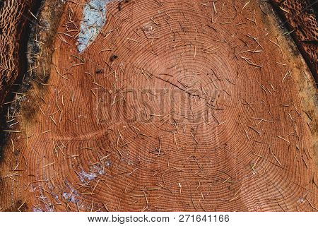 Tree Log Cut Cross Section Close Up With Pine Needles