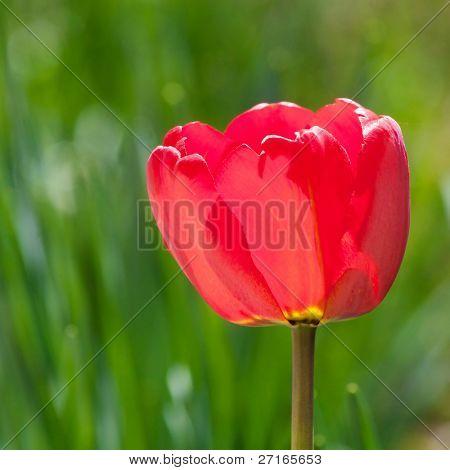 Beautiful red tulip closeup