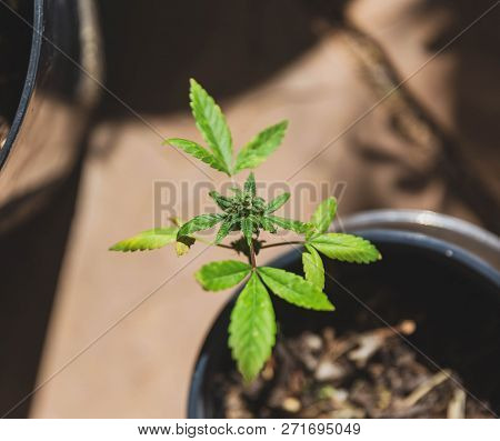 Close Up Details Of Cannabis Or Marijuana Leaf In Outdoor Setting.