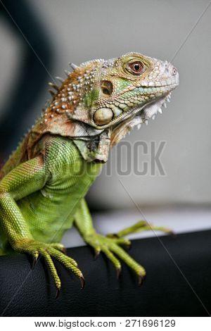 Green Iguana Reptiles. Perfect Portrait Of A Green Iguana Reptiles, Close Up. Close Up Portrait Of E