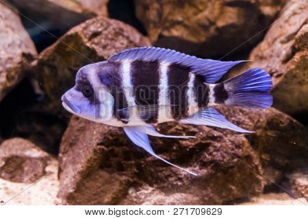 Hump Head Cichlid Fish In Closeup, A Blue And White Banded Fish With A Bump On His Head, Popular Aqu