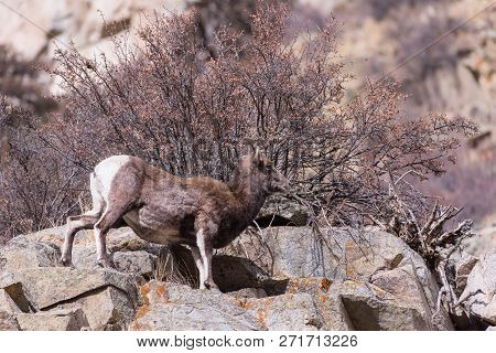 Bighorn Sheep Are Wild Animals In The Rocky Mountains Of Colorado. Bighorn Ewe In Sunlight