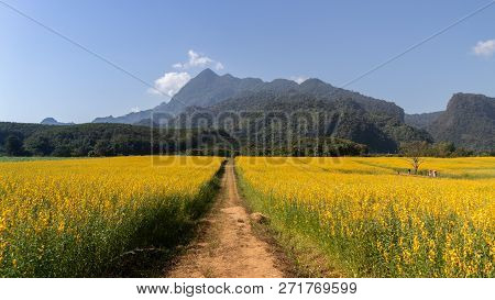Yellow Flower Of Sunn Hemp, Indian Hemp Flower Field, Madras Hemp Or Crotalaria Juncea Is A Tropical