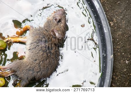 Dirty Rats In Glue Stick On The Mousetrap.rats Captured On  Non-toxic Glue Trap.house Problem From R