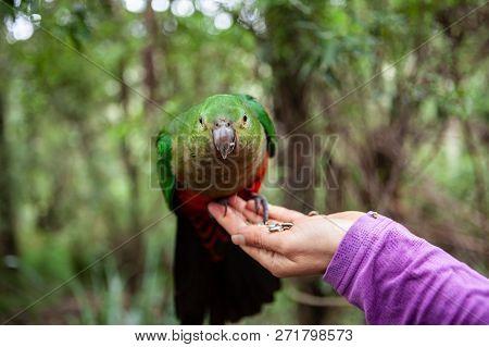 Green King Parrot On Female Hand Feeding